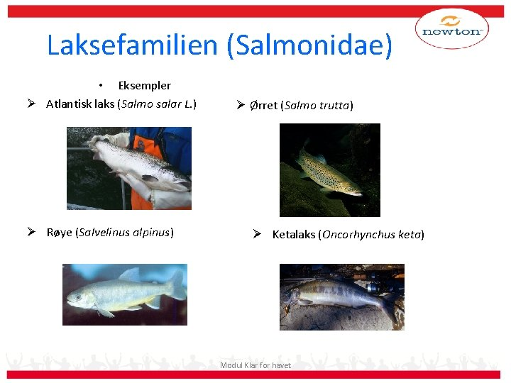 Laksefamilien (Salmonidae) • Eksempler Ø Atlantisk laks (Salmo salar L. ) Ø Røye (Salvelinus