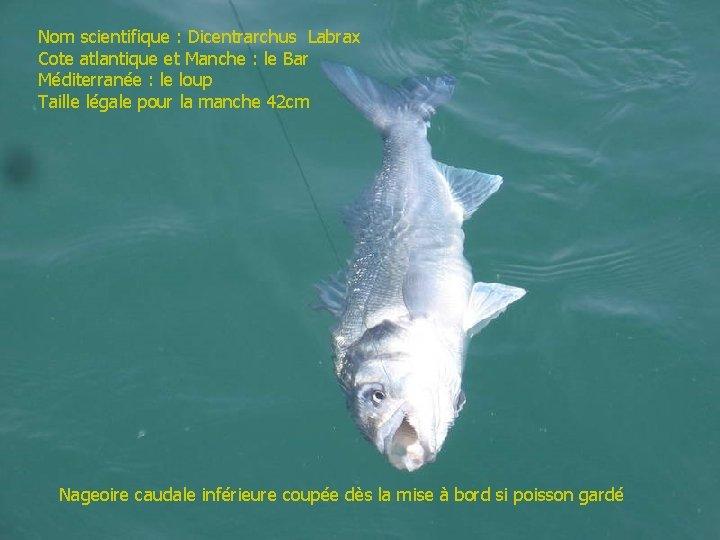 Nom scientifique : Dicentrarchus Labrax Cote atlantique et Manche : le Bar Méditerranée :