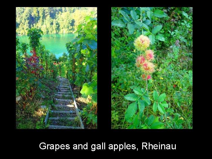 Grapes and gall apples, Rheinau