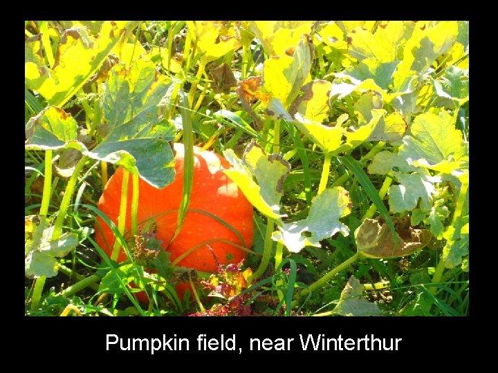 Pumpkin field, near Winterthur