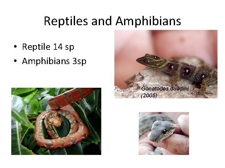 Reptiles and Amphibians • Reptile 14 sp • Amphibians 3 sp Gonatodes duadini (2005)