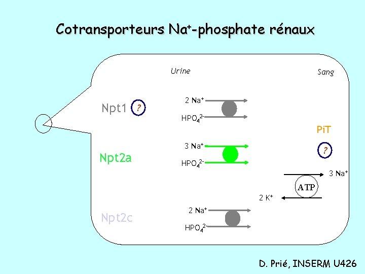 Cotransporteurs Na+-phosphate rénaux Urine Npt 1 ? Sang 2 Na+ HPO 42 - Pi.
