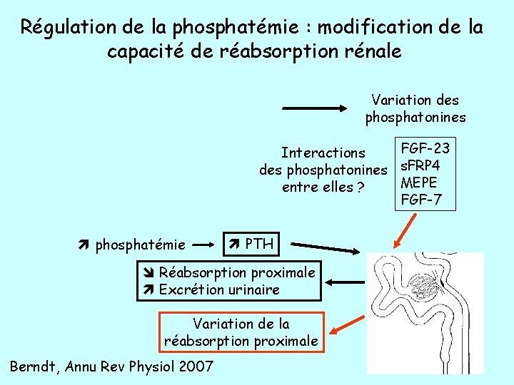 Régulation de la phosphatémie : modification de la capacité de réabsorption rénale Variation des