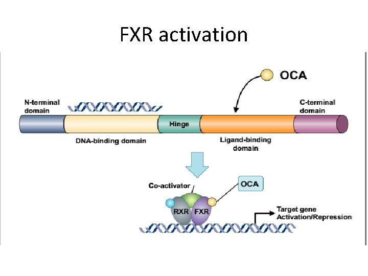 FXR activation