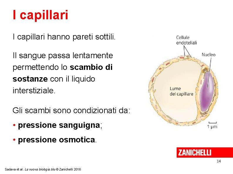 I capillari hanno pareti sottili. Il sangue passa lentamente permettendo lo scambio di sostanze