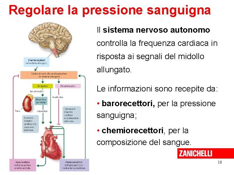 Regolare la pressione sanguigna Il sistema nervoso autonomo controlla la frequenza cardiaca in risposta