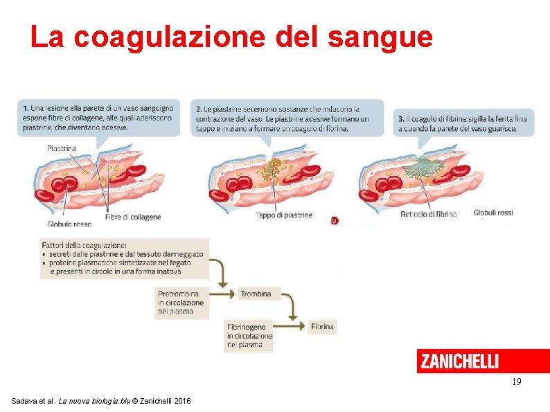 La coagulazione del sangue 19 Sadava et al. La nuova biologia. blu © Zanichelli