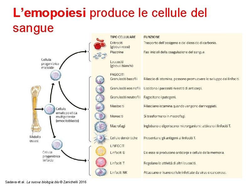 L'emopoiesi produce le cellule del sangue Sadava et al. La nuova biologia. blu ©