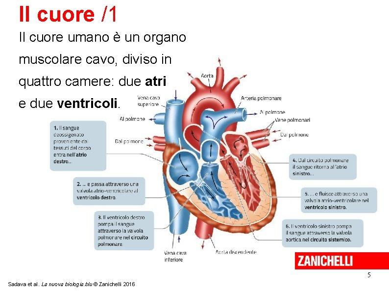 Il cuore /1 Il cuore umano è un organo muscolare cavo, diviso in quattro