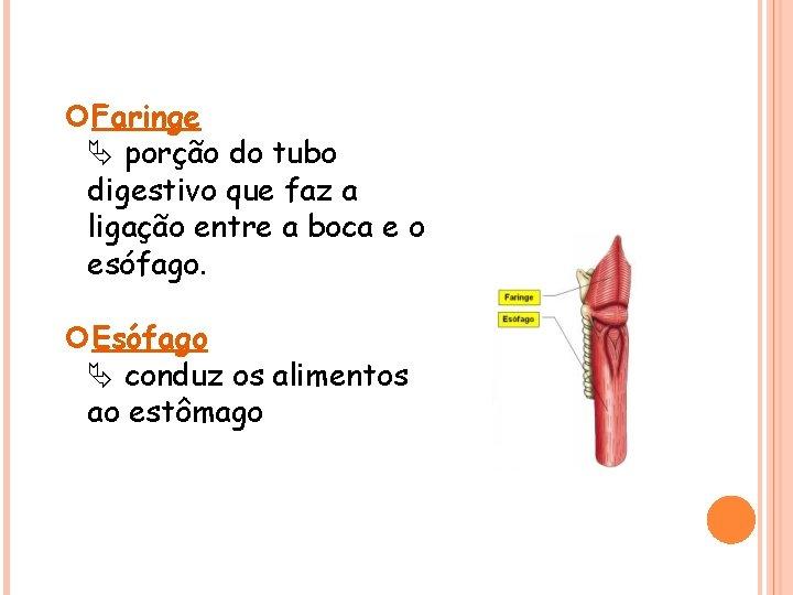 Faringe porção do tubo digestivo que faz a ligação entre a boca e