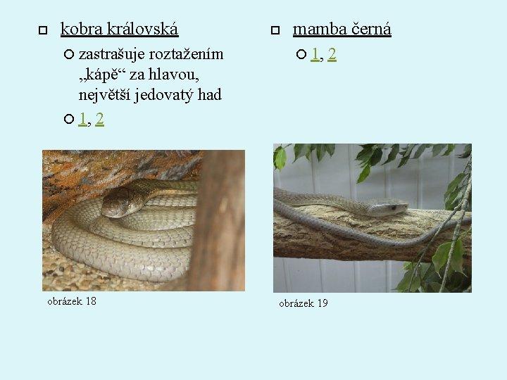 """kobra královská zastrašuje roztažením """"kápě"""" za hlavou, největší jedovatý had 1, 2 obrázek"""