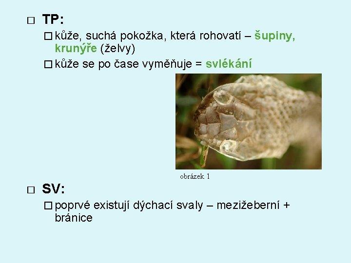 � TP: � kůže, suchá pokožka, která rohovatí – šupiny, krunýře (želvy) � kůže