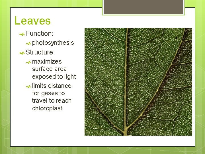 Leaves Function: photosynthesis Structure: maximizes surface area exposed to light limits distance for gases