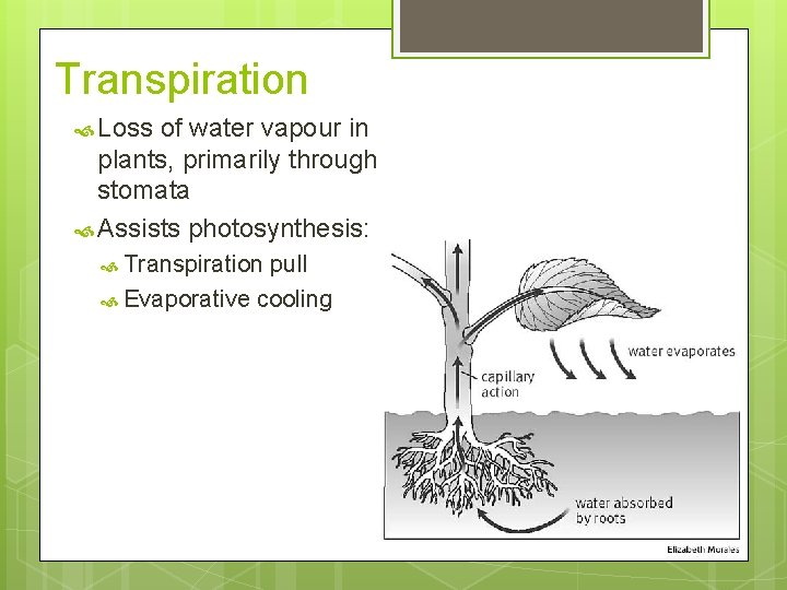 Transpiration Loss of water vapour in plants, primarily through stomata Assists photosynthesis: Transpiration pull
