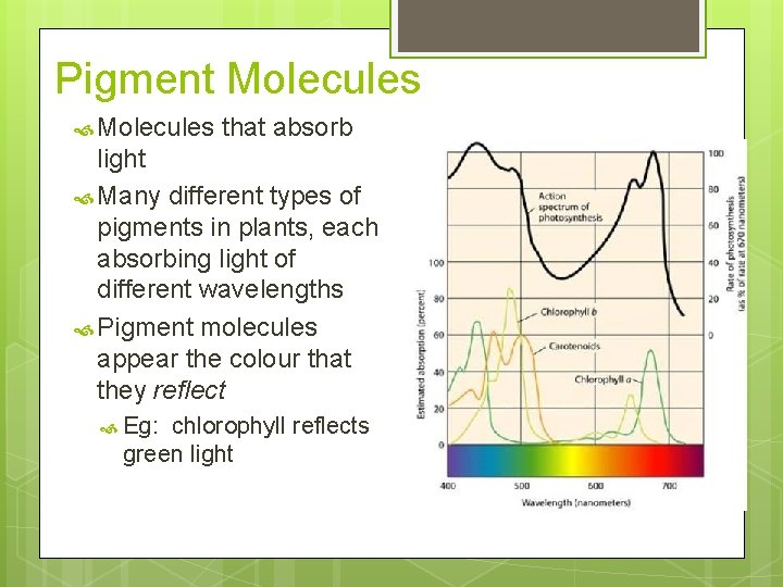 Pigment Molecules that absorb light Many different types of pigments in plants, each absorbing