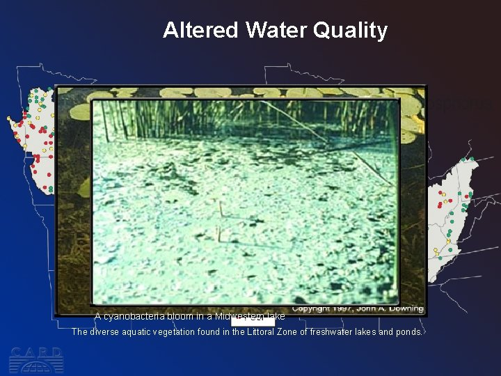 Altered Water Quality A cyanobacteria bloom in a Midwestern lake. The diverse aquatic vegetation