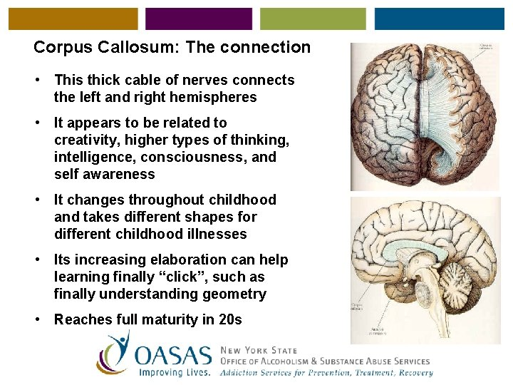 Corpus Callosum: The connection • This thick cable of nerves connects the left and