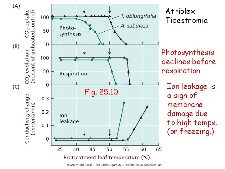 Atriplex Tidestromia Photosynthesis declines before respiration Fig. 25. 10 Ion leakage is a sign