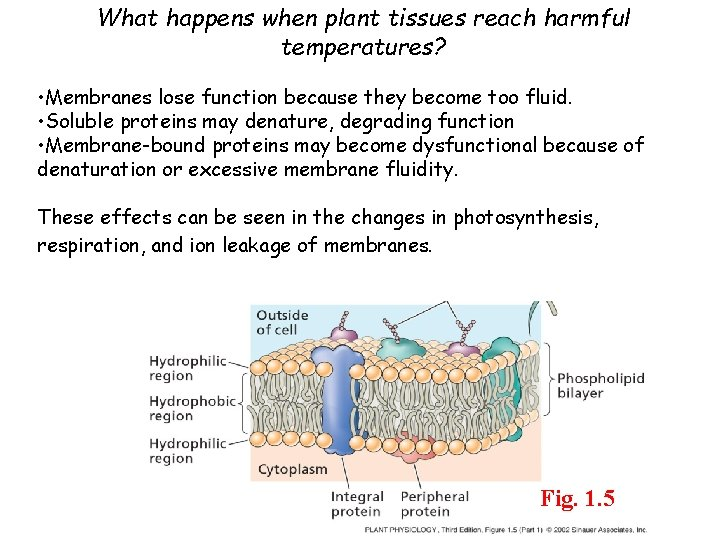 What happens when plant tissues reach harmful temperatures? • Membranes lose function because they