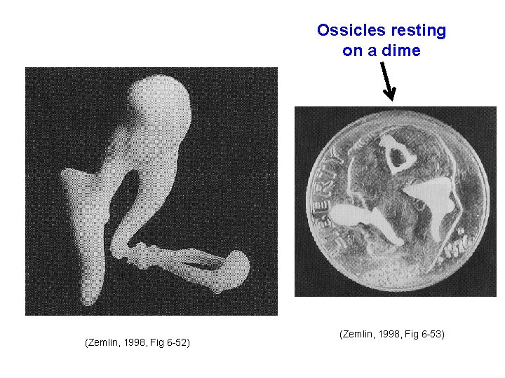 Ossicles resting on a dime (Zemlin, 1998, Fig 6 -52) (Zemlin, 1998, Fig 6