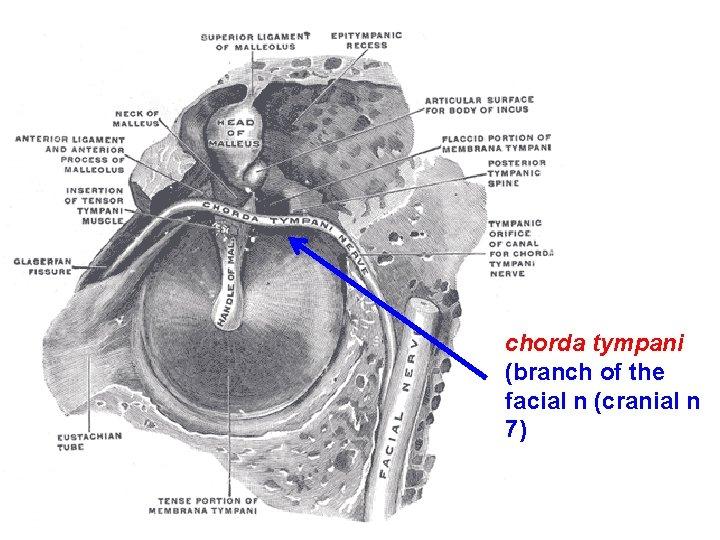 chorda tympani (branch of the facial n (cranial n 7)