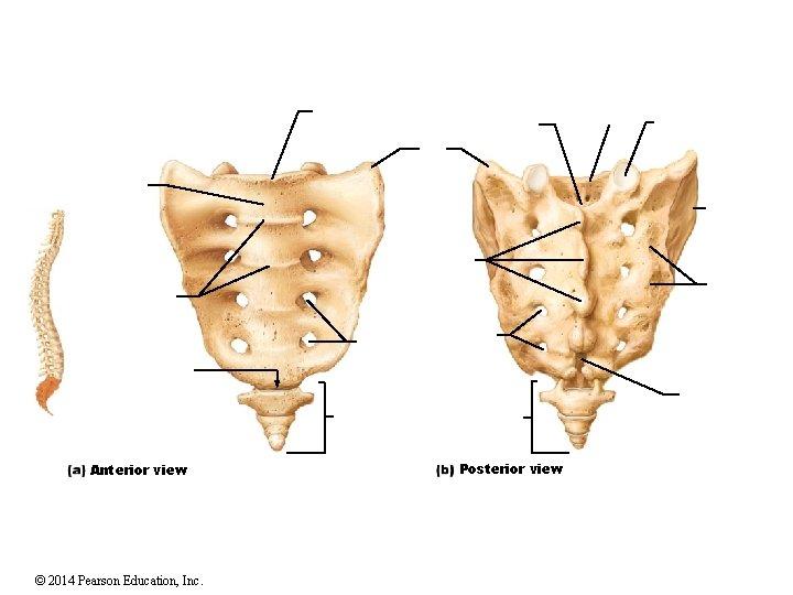Anterior view © 2014 Pearson Education, Inc. Posterior view