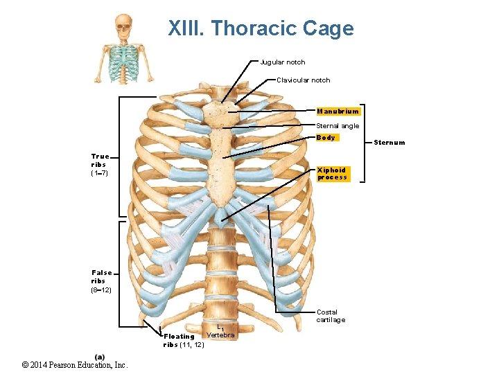 XIII. Thoracic Cage Jugular notch Clavicular notch Manubrium Sternal angle Body True ribs (1