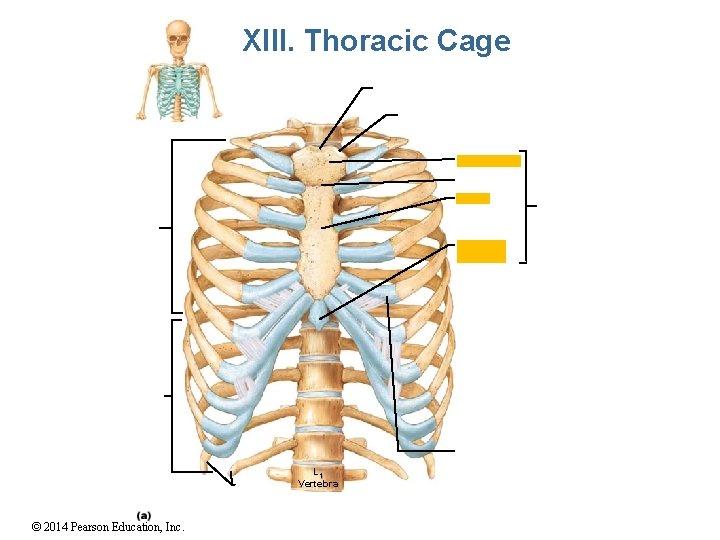 XIII. Thoracic Cage L 1 Vertebra © 2014 Pearson Education, Inc.