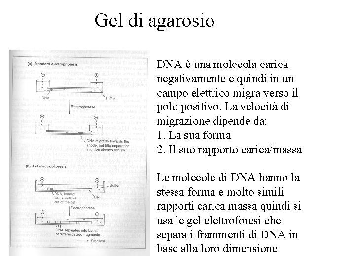 Gel di agarosio DNA è una molecola carica negativamente e quindi in un campo