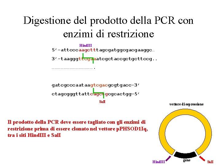 Digestione del prodotto della PCR con enzimi di restrizione Hind. III 5'-attcccaagctttagcgatggcgacgaaggc… 3'-taagggttcgaaatcgctaccgctgcttccg. .