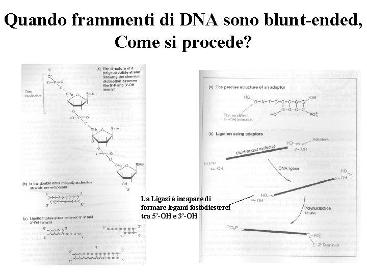 Quando frammenti di DNA sono blunt-ended, Come si procede? La Ligasi è incapace di