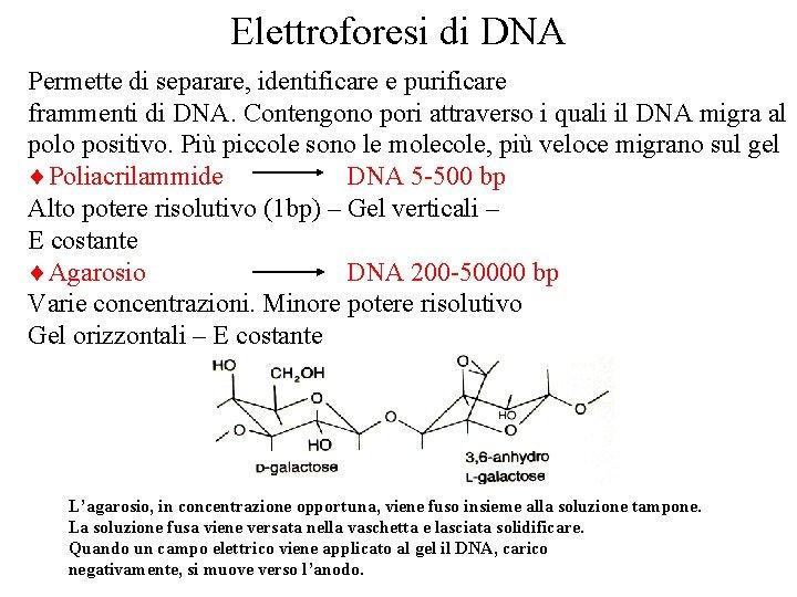 Elettroforesi di DNA Permette di separare, identificare e purificare frammenti di DNA. Contengono pori