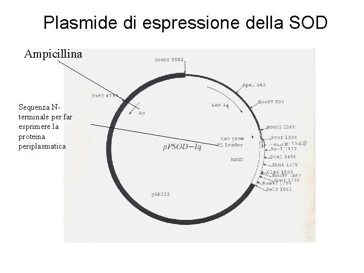 Plasmide di espressione della SOD Ampicillina Sequenza Nterminale per far esprimere la proteina periplasmatica