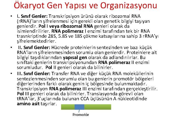 Ökaryot Gen Yapısı ve Organizasyonu • I. Sınıf Genler: Transkripsiyon ürünü olarak ribozomal RNA