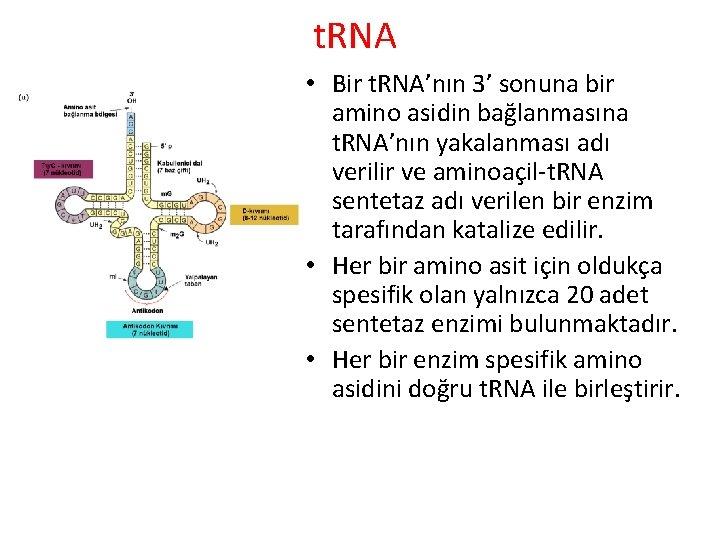 t. RNA • Bir t. RNA'nın 3' sonuna bir amino asidin bağlanmasına t. RNA'nın