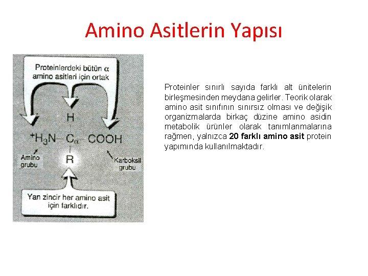 Amino Asitlerin Yapısı Proteinler sınırlı sayıda farklı alt ünitelerin birleşmesinden meydana gelirler. Teorik olarak