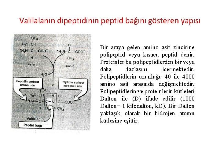 Valilalanin dipeptidinin peptid bağını gösteren yapısı Bir araya gelen amino asit zincirine polipeptid veya