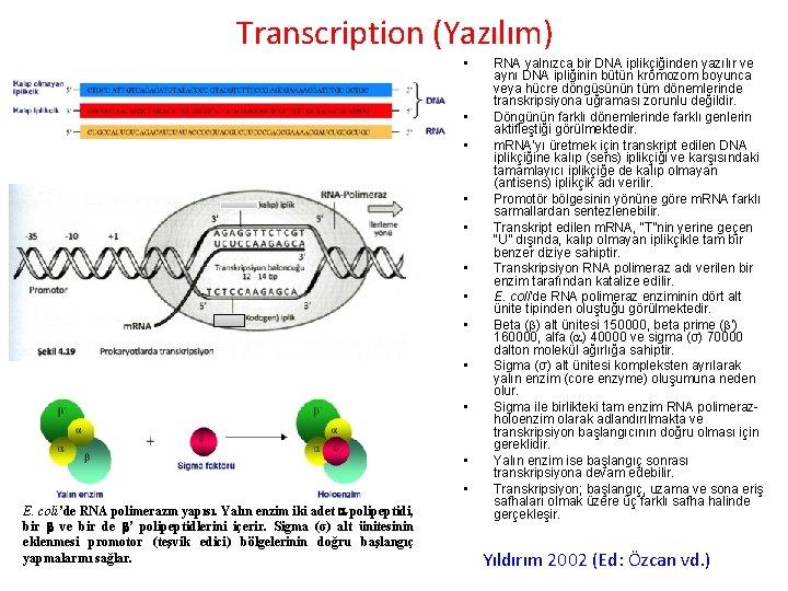 Transcription (Yazılım) • • • E. coli'de RNA polimerazın yapısı. Yalın enzim iki adet