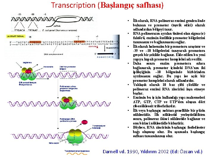 Transcription (Başlangıç safhası) • • İlk olarak, RNA polimeraz enzimi genden önde bulunan ve