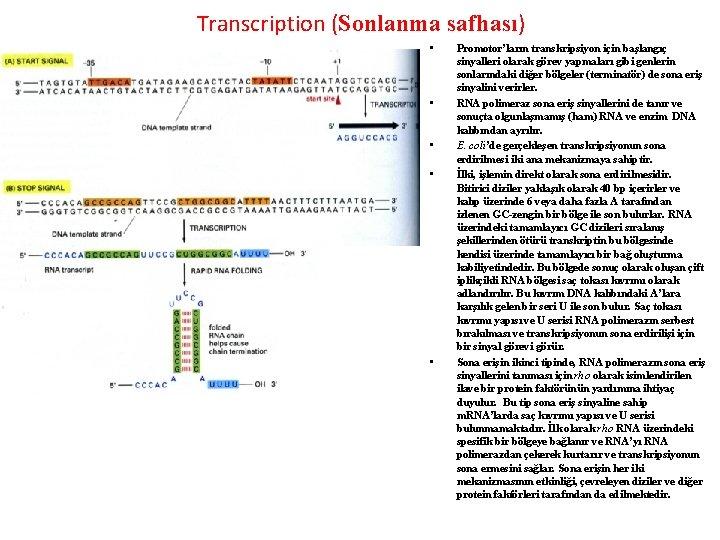 Transcription (Sonlanma safhası) • • • Promotor'ların transkripsiyon için başlangıç sinyalleri olarak görev yapmaları