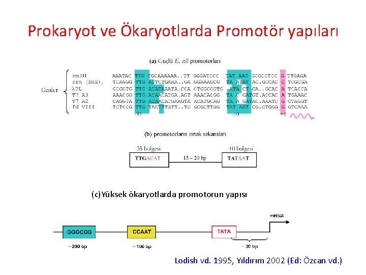 Prokaryot ve Ökaryotlarda Promotör yapıları (c)Yüksek ökaryotlarda promotorun yapısı Lodish vd. 1995, Yıldırım 2002
