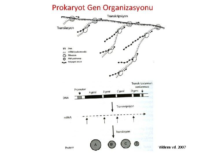 Prokaryot Gen Organizasyonu Yıldırım vd. 2007