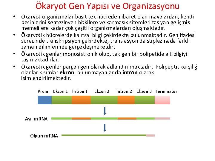 Ökaryot Gen Yapısı ve Organizasyonu • Ökaryot organizmalar basit tek hücreden ibaret olan mayalardan,