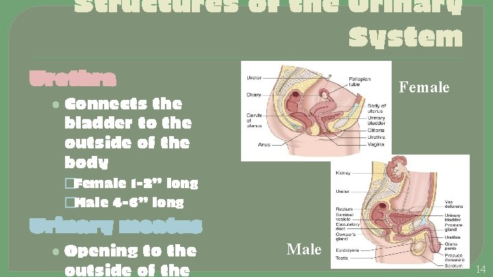 Structures of the Urinary System Urethra Female • Connects the bladder to the outside