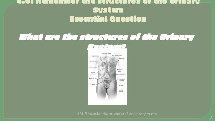 4. 01 Remember the structures of the Urinary System Essential Question What are the