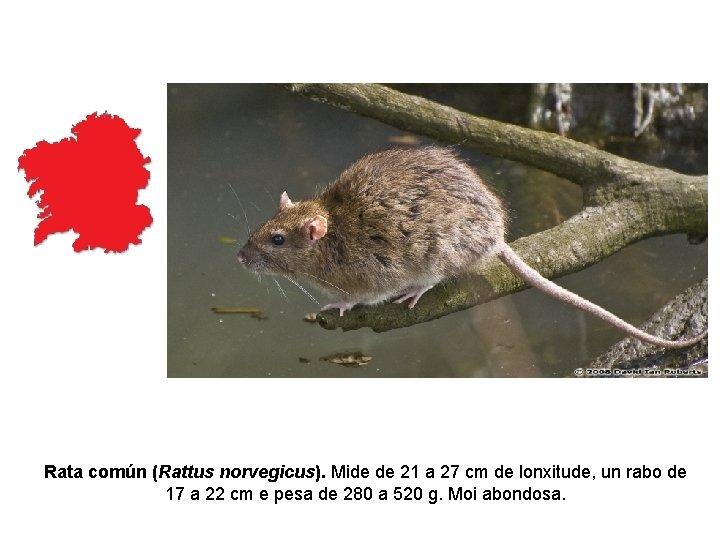 Rata común (Rattus norvegicus). Mide de 21 a 27 cm de lonxitude, un rabo
