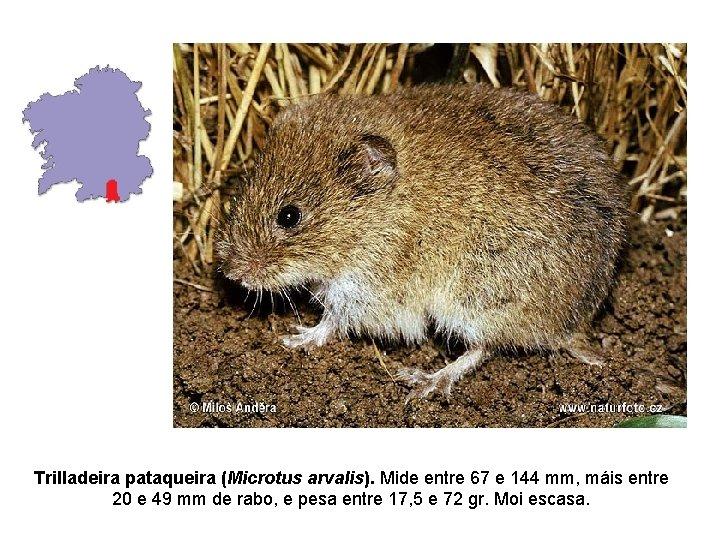 Trilladeira pataqueira (Microtus arvalis). Mide entre 67 e 144 mm, máis entre 20 e