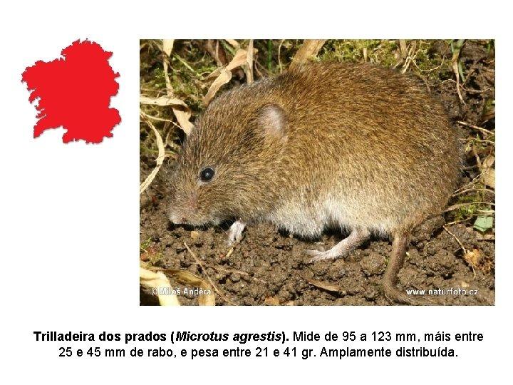 Trilladeira dos prados (Microtus agrestis). Mide de 95 a 123 mm, máis entre 25