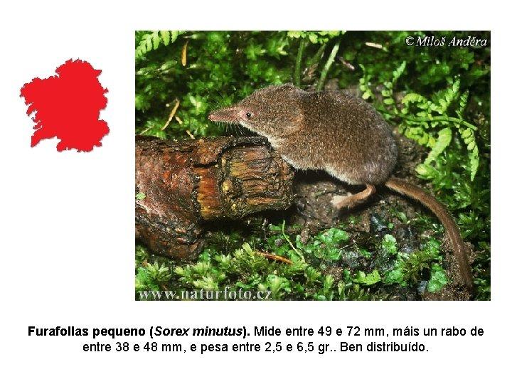 Furafollas pequeno (Sorex minutus). Mide entre 49 e 72 mm, máis un rabo de