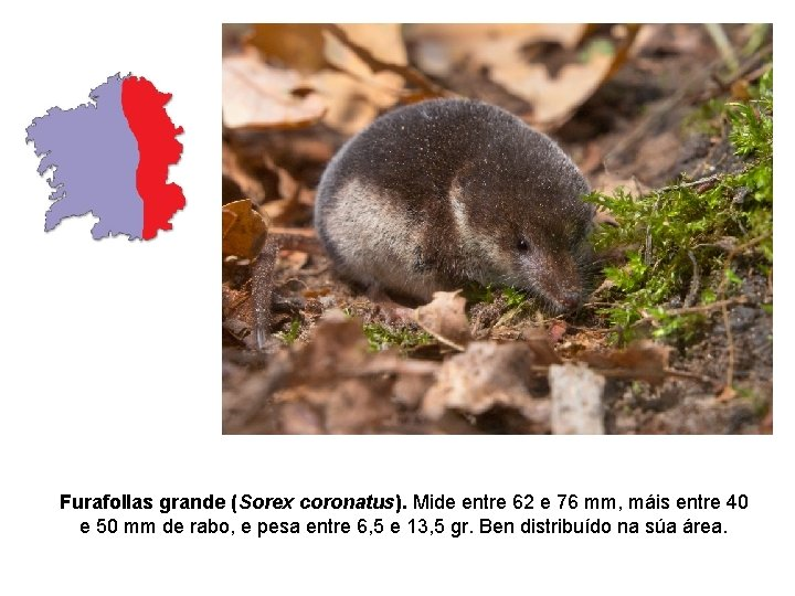 Furafollas grande (Sorex coronatus). Mide entre 62 e 76 mm, máis entre 40 e